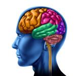 Barevné části lidského mozku